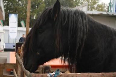 romanian-horses-lipitan